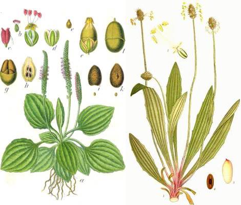Le Plantain : cette «mauvaise herbe» est l'une des plantes médicinales les plus utiles de la planète.