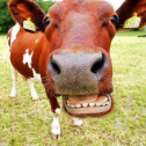 Les vaches plus polluantes que les voitures?