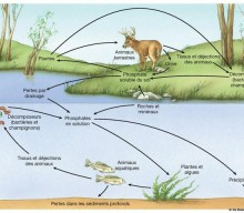 Le cycle du phosphore expliqué par Hervé Coves